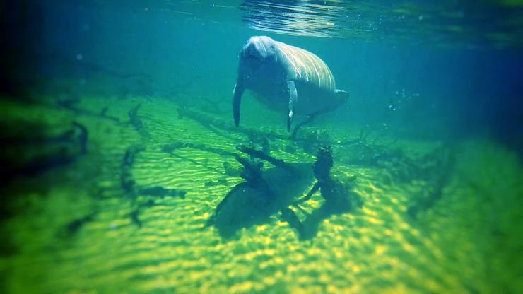 The underwater world of the manatee (Courtesy of Sami El-Haddadeh)
