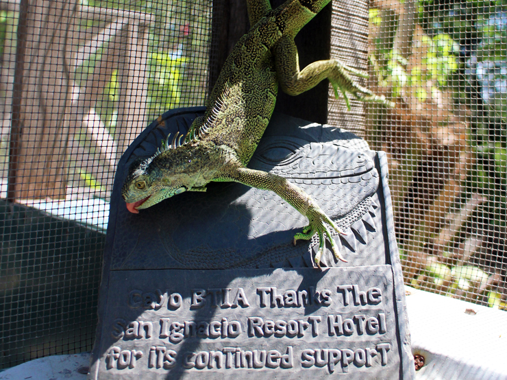 The Belize Iguana Project depends on supporters and donations