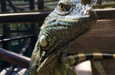 The Belize Iguana Project
