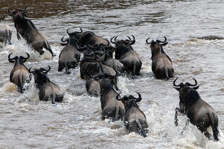 Kenya, Masai Mara, Masai, Kananga International, Julia's River Camp, Safari, East Africa, Wildebeest, Migration, The Great Migration, Mara River