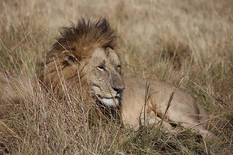 Kenya, Masai Mara, Masai, Kananga International, Julia's River Camp, Governors Camp, Safari, East Africa, Lion, Lions, Big 5, the big five