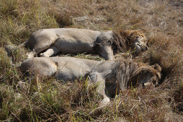 Kenya, Masai Mara, Masai, Kananga International, Julia's River Camp, Governors Camp, Safari, East Africa, Lion, Lions, Big 5, the big five
