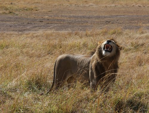 Kenya, Masai Mara, Masai, Kananga International, Julia's River Camp, Safari, East Africa, Lion, Lions, Big 5, the big five