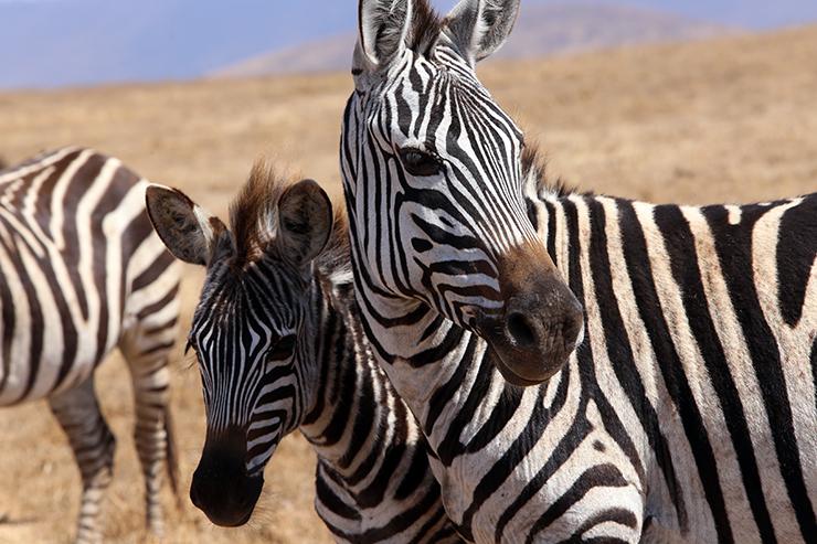 Zebras in the Masai Mara, Safari, Serengeti, Essential Africa, Kenya, Tanzania, Zanzibar