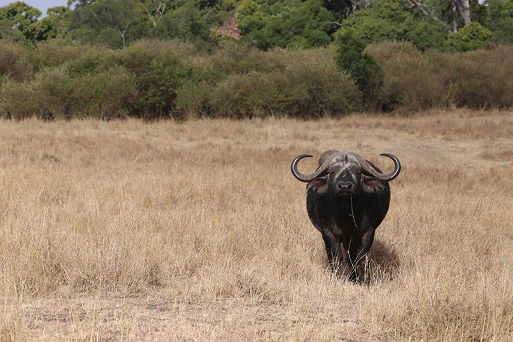 Kenya, Masai Mara, Masai, Kananga International, Julia's River Camp, Safari, East Africa, Migration, The Great Migration, Buffalo, Big5, Big Five