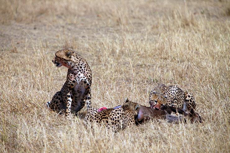 Kenya, Masai Mara, Masai, Kananga International, Julia's River Camp, Safari, East Africa, Cheetahs, Cheetah, Big 5, the big five, Tanzania, Napanda Safaris, Acacia Farm Lodge, Ngorongoro Crater, Lake Mantra, Serengeti