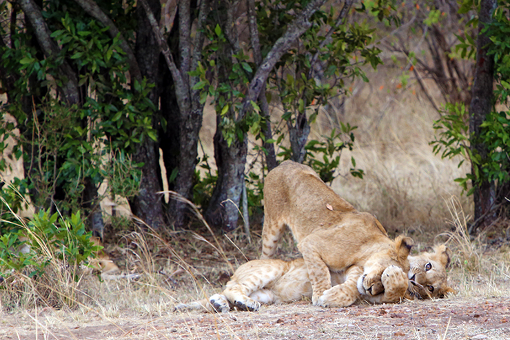 Kenya, Masai Mara, Masai, Kananga International, Julia's River Camp, Safari, East Africa, Lion, Lions, Big 5, the big five, Tanzania, Napanda Safaris, Acacia Farm Lodge, Ngorongoro Crater, Lake Mantra, Serengeti