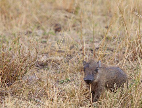 Kenya, Masai Mara, Masai, Kananga International, Julia's River Camp, Safari, East Africa, warthog, warthogs, Tanzania, Napanda Safaris, Acacia Farm Lodge, Ngorongoro Crater, Lake Mantra, Serengeti